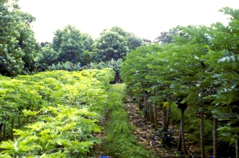 "Cultivation of virus resistant papayas in HI: On the left, rows of conventional papaya trees infested with the Ringspot Virus. On the right, GM virus-resistant plants of the variety ""Rainbow."""